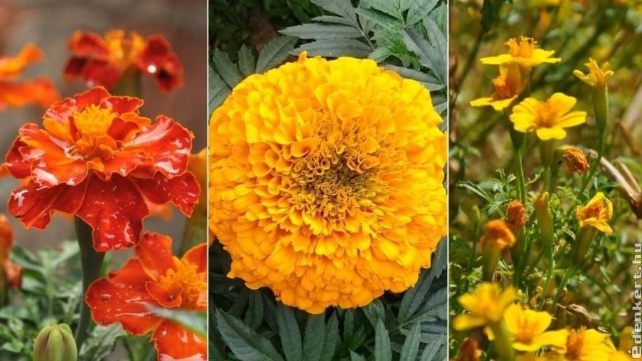 Büdöske: a virág, ami a nyári hőséget is túléli