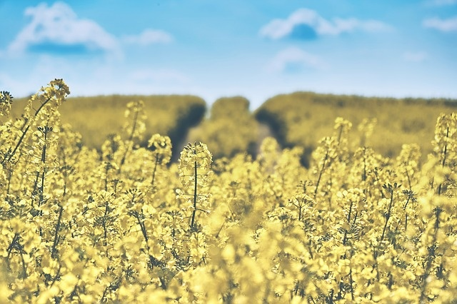 field-of-rapeseeds-1433380_640