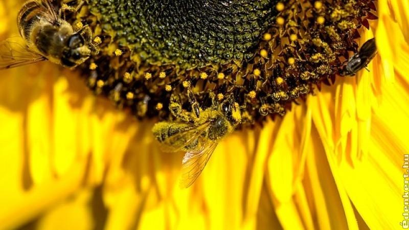 Ha kipusztulnak a méhek, az emberiség csupán négy évvel élné túl eltűnésüket