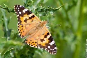 Támad a bogáncslepke - Növényi kártevőkre figyelmeztet a Nébih