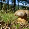 Nyáron nő 2019 gombája a bronzos vargánya