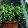 Viaszrepkény (Senecio macroglossus variegatus)
