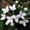 Nyári virágdísz a Bouvard-virág (Bouvardia)