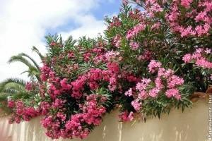Mediterrán virágözön: Így gondozd a leandert