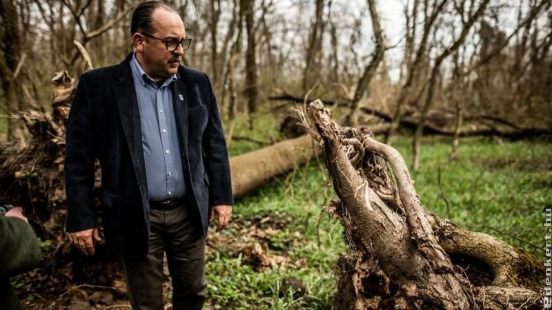 Gyökerestől dőlnek ki a beteg kőrisek a lébényi erdőben