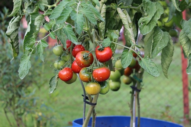 tomatoes-2530823_640