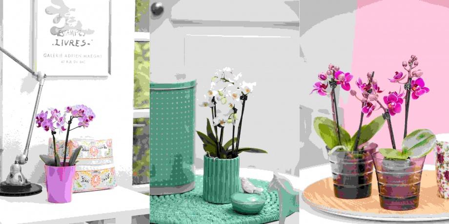 kedvenc_szobanoveny_orchidea