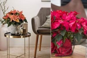 Mikulásvirág: csodás új színárnyalatok a piacon