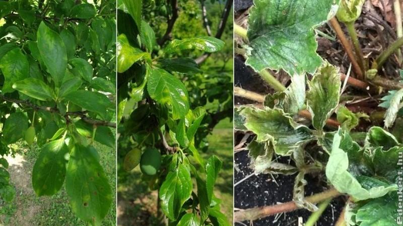 Növényi vírusok - hogyan védekezzünk ellenük?