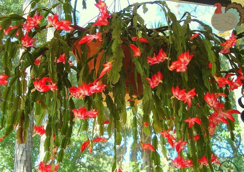 17_eves_karacsonyi_kaktusz