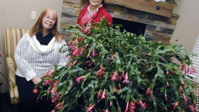Ilyet még nem láttál: több, mint 100 éves a legöregebb karácsonyi kaktusz
