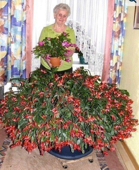 oreg_karacsonyi_kaktusz