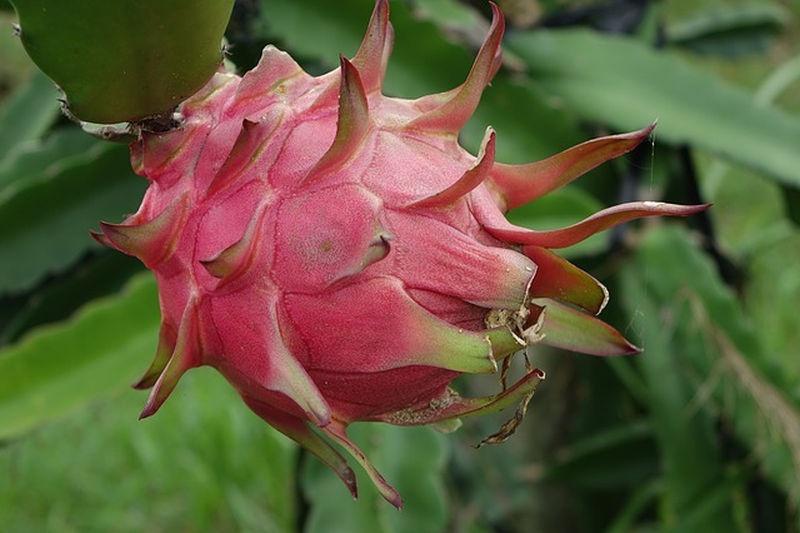 sarkanygyumolcs_kaktusz_termese