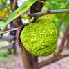 Narancseperfa (Maclura pomifera)