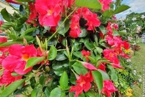 Pompás kúszónövény: tölcsérjázmin (Dipladenia)