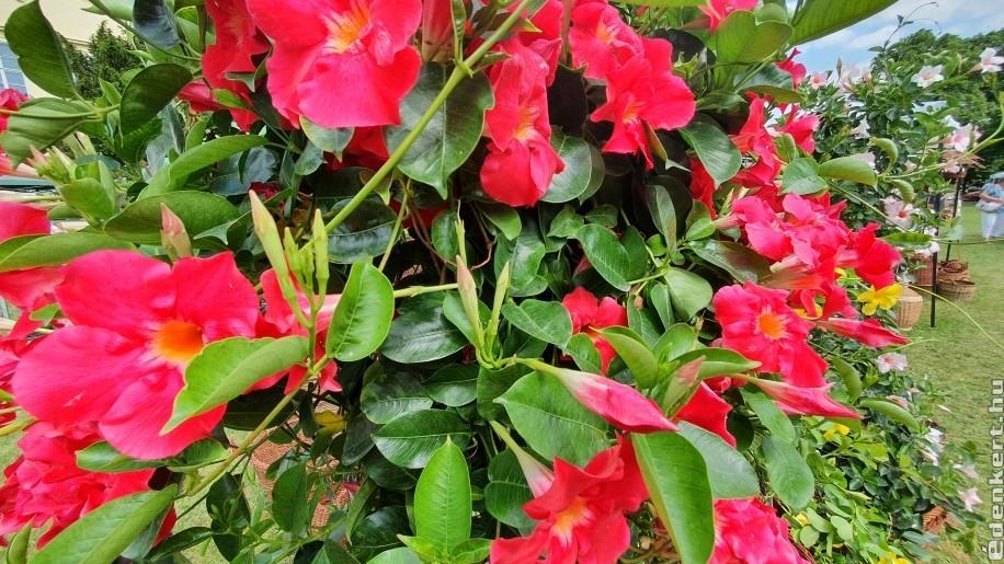 Egy egzotikus kúszónövény: tölcsérjázmin (Dipladenia)