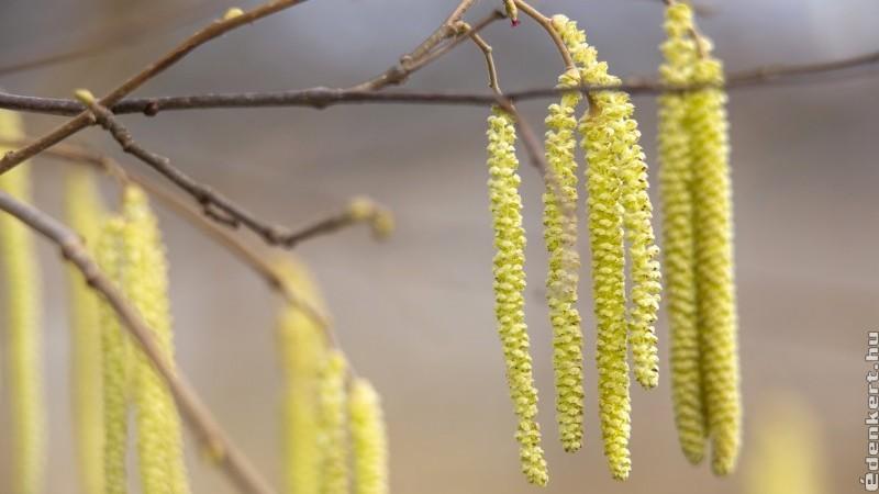 Megkezdődött az idei pollenszezon