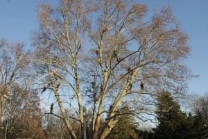 Láttál már ilyet? Fagyöngy eltávolítás Budapest fáiról