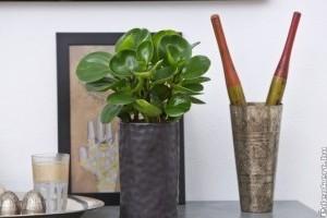 Kezdők szobanövénye: tompalevelű törpebors