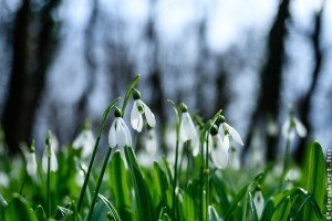 Teljes virágzásban az alcsútdobozi hóvirágmező