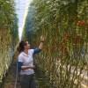 Világűrben járt paradicsommagokkal kísérleteznek Veresegyházán