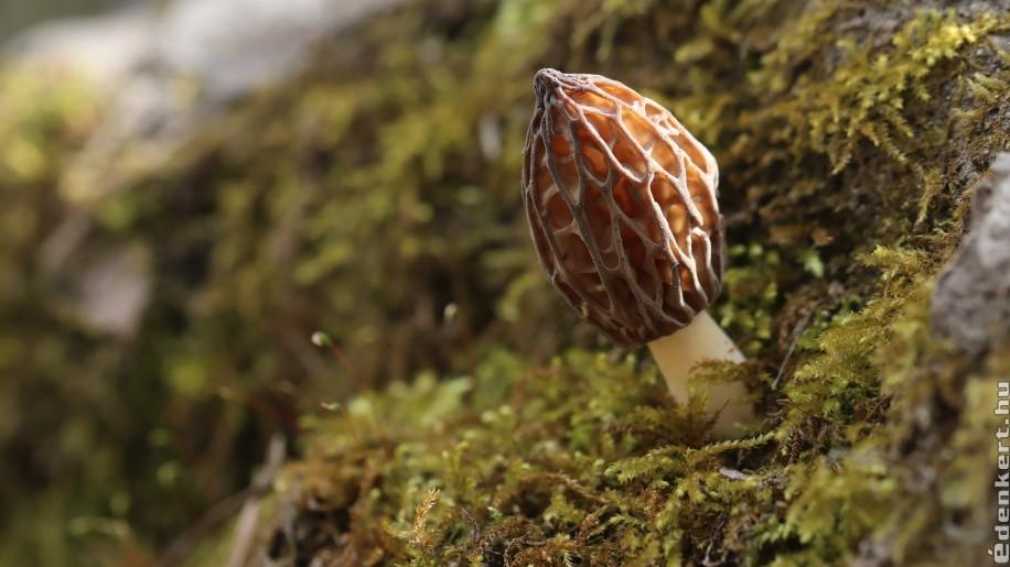 Ehető és mérgező gombák tavasszal
