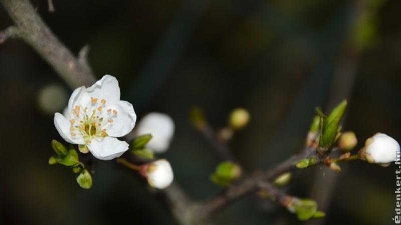 Több kockázata lehet az enyhe télnek a gyümölcstermésre