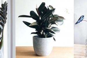Egzotikus szépségek otthon: fekete szobanövényfajták