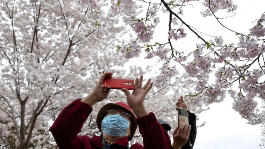Tavaszi megújulás Wuhanban: virítanak a cseresznyefák