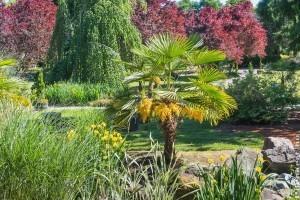 Mediterrán feeling a kertben kínai kenderpálmával