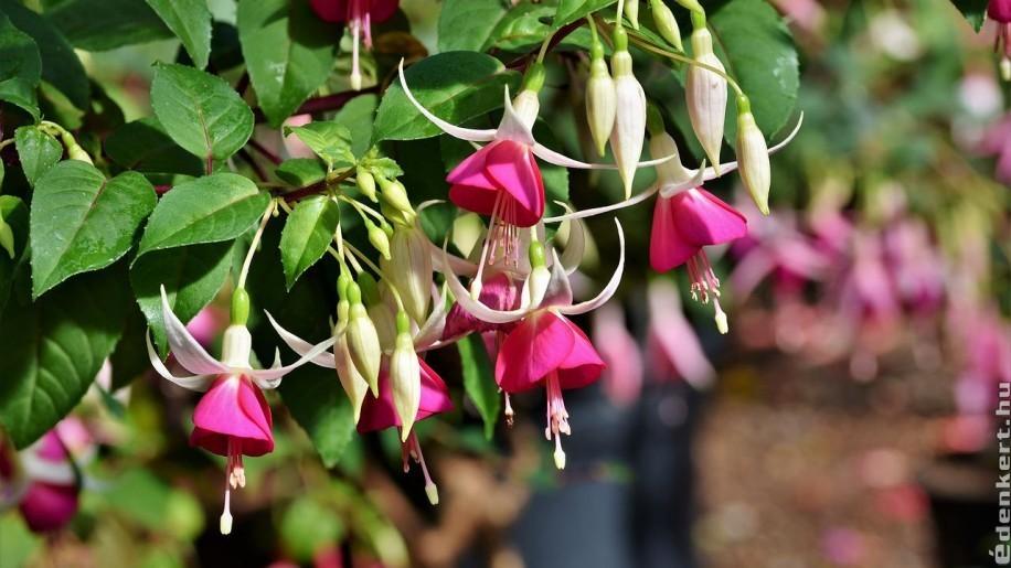 Milyen virágot ültessünk árnyékos erkélyre?