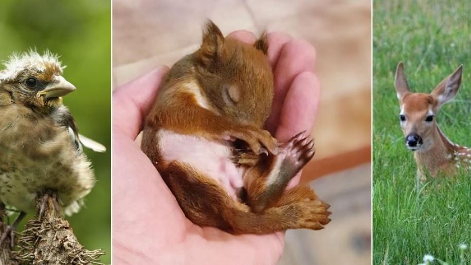 Hagyjuk békén a madárfiókákat, őzgidákat, nyúl-, nyest- és mókuskölyköket, vadmalacokat