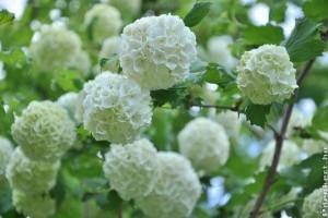 Az 5 legszebb fehér virágú díszcserje