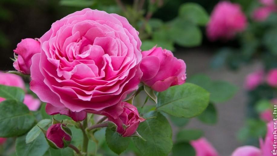Számolj le a rózsát megtámadó levéltetvekkel