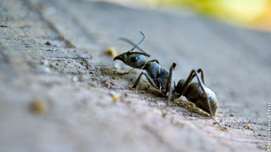 5 egyszerű tipp hangyák ellen