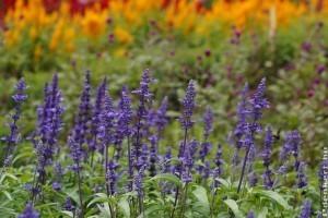 Szárazságtűrő évelő virágok - ők a kedvenceink