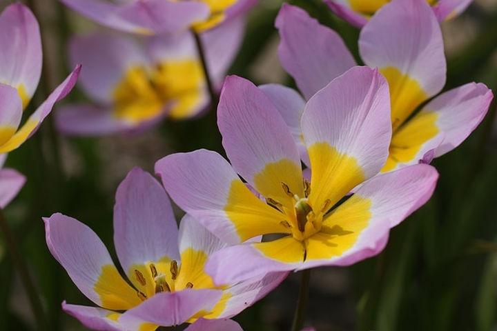 botanikai_tulipan_t_bakeri