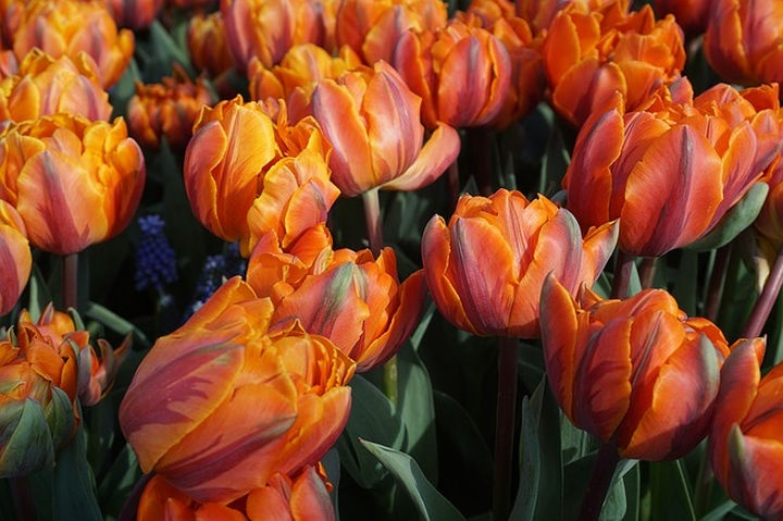 holland_tulipan_hermitage