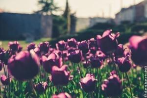 Tulipán mustra: koraitól a későig, botanikai tulipánoktól a kerti hibridekig