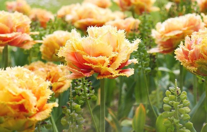 rojtos_szelu_tulipan