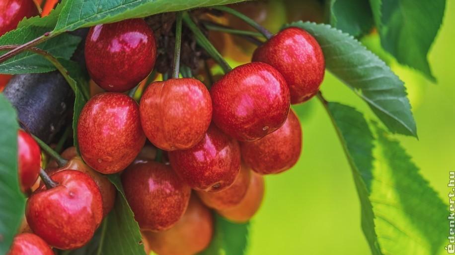 Gyenge az idei cseresznye- és meggytermés, magasan az árak