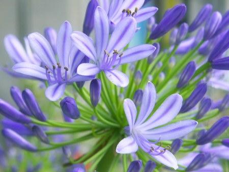 szerelemvirág / Agapanthus