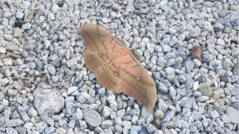 Tölgyfa pávaszem, egy japán lepke a hazai faunában