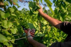 Miért hasznos a szőlő tetejezése, csonkázása?