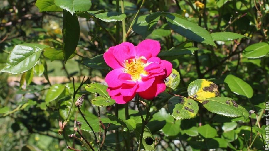A rózsa gyakori betegsége a levélfoltosságot okozó csillagpenész