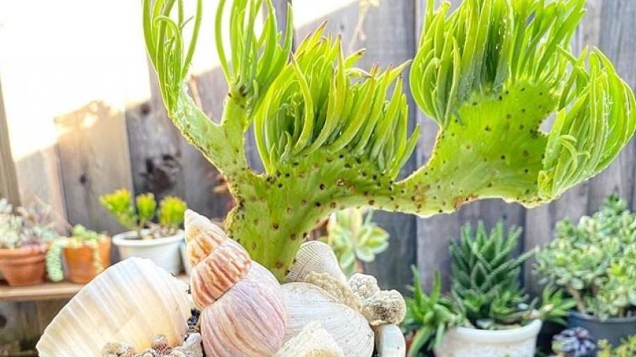 Sellőfarok, mintha a tengerből lépett volna elő a szobanövény