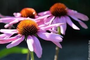 2020 gyógynövénye: bíbor kasvirág