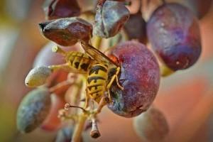 Hogyan védjük meg a csemegeszőlőt a darazsaktól, madaraktól?