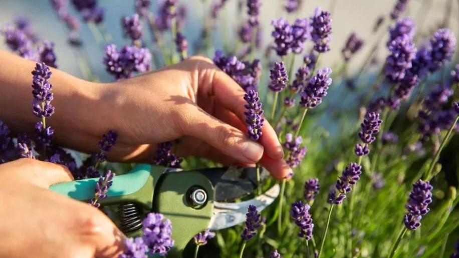 Mikor jobb metszeni a levendulát ősszel vagy tavasszal?