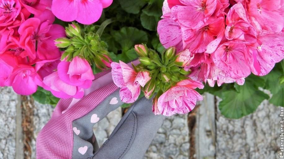 Milyen hernyó rágja a muskátli virágait?